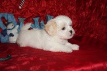 Snowflake Female CKC Havashu $1750 Ready 12/13 HAS DEPOSIT MY NEW HOME JACKSONVILLE, FL 2.11lbs 7wks old