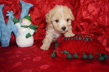 Spice Female Toy CKC Poodle $1750 Ready 12/23 HAS DEPOSIT MY NEW HOME JACKSONVILLE , FL 1.9lbs 5wk2d old