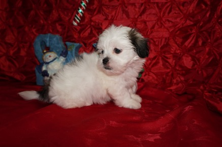 Winter Female CKC Havashu $1750 Ready 12/13 SOLD MY NEW HOME IS JACKSONVILLE, FL 2.4lbs 7wks old