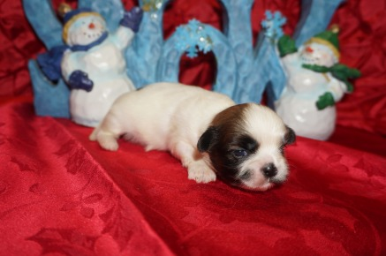 Wishbone Male CKC Shihpoo $1750 Ready 1/18 AVAILABLE 13.6oz 2wk4d old