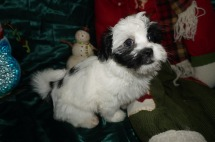 Chilly Willy Male CKC Havashu $1750 Ready 12/13 AVAILABLE 3.12lbs 9wk3d old