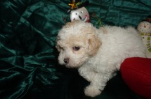 Eli Male Toy CKC Poodle $1750 Ready 12/23 HAS DEPOSIT MY NEW HOME IS FL 2lbs 7wk2d old