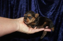 Sweet Pea Female CKC Yorkie $1750 Ready 2/6 HAS DEPOSIT MY NEW HOME JACKSONVILLE, FL 8.1 OZ 2wk2d old