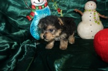 Ziah Female CKC Yorkipoo $1750 Ready 1/4 HAS DEPOSIT 14oz 5wk2d old