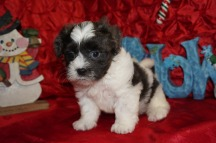 Berry Male Teddy Bear a/k/a CKC Shicon $1750 Ready 12/9 SOLD MY NEW HOME CALLAHAN, FL 2.11lbs 7wk3d old