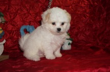 Bigsby Male CKC Malshipoo $1750 Ready 12/4 HAS DEPOSIT MY NEW HOME JACKSONVILLE, FL 2.10lbs 8wks old