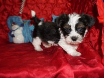 Cannoli Male CKC Havashire A/K/A Yorkinese $1750 Ready 12/12 SOLD MY NEW HOME MIDDLEBURG, FL 2.3lbs 7wks old