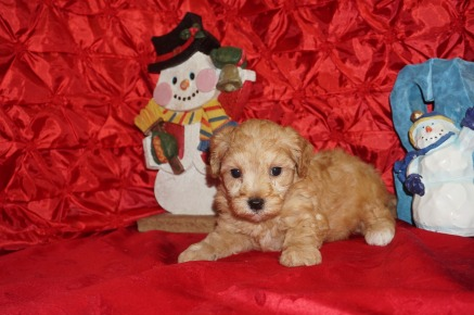 Emmanuel Male CKC Maltipoo $2000 Ready 12/7 SOLD! My new home is Jacksonville, FL 2lbs 5wk4d old