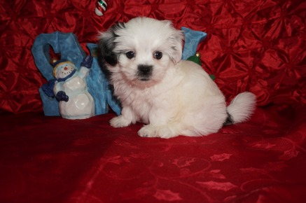 Frosty Male CKC Havashu $1750 Ready 12/13 SOLD MY NEW HOME BRONX, NY 2.3lbs 7wks old