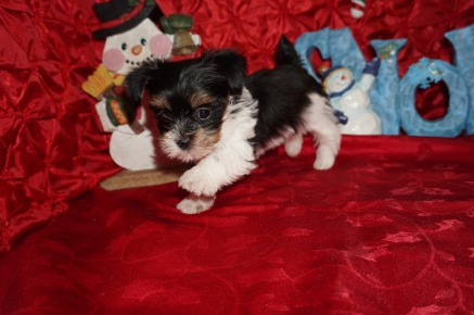 Linguine Male CKC Havashire A/K/A Yorkinese $2000 Ready 12/12 SOLD MY NEW HOME PALM COAST, FL 1.7lbs 7wks old