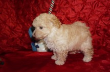 Max Male CKC Maltipoo $2000 Ready 12/7 HAS DEPOSIT! My new home is in Puerto Rico! 2.7lbs 7wk4d old
