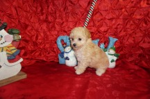 Molly Female CKC Maltipoo $1750 Ready 12/7 HAS DEPOSIT MY NEW HOME PONTE VEDRA BEACH, FL 1.12lbs 7wk4d old