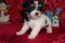 Mozzarella Male CKC Havashire A/K/A Yorkinese $1750 Ready 12/12 HAS DEPOSIT MY NEW HOME PONTE VEDRA BEACH, FL 1.14lbs 7wks old