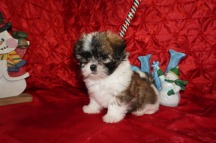 Muffin Female CKC Havashu $1750 Ready 12/6 HAS DEPOSIT MY NEW HOME YULEE, FL 2.6lbs 7wk5d old