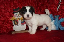Nicholas Male Teddy Bear a/k/a CKC Shicon $1750 Ready 12/9 HAS DEPOSIT MY NEW HOME ORANGE PARK, FL 3.12lbs 7wk3d old