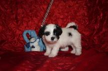 Noel Female Teddy Bear a/k/a CKC Shicon $1750 Ready 12/9 SOLD MY NEW HOME CALLAHAN, FL 2.10lbs 7wk3d old