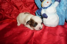 Praline Female CKC Shihpoo $1750 Ready 1/18 HAS DEPOSIT MY NEW HOME ORMOND BEACH, FL 11.3oz 2wk4d old