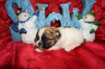 Turkey Male CKC Shihpoo $1750 Ready 1/18 AVAILABLE 1.1lbs 2wk4d old