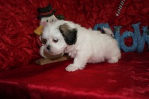 Winter Female CKC Havashu $1750 Ready 12/13 HAS DEPOSIT MY NEW HOME IS JACKSONVILLE, FL 2.4lbs 7wks old