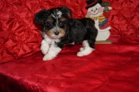 Zitto Male CKC Havashire A/K/A Yorkinese $1750 Ready 12/12 SOLD MY NEW HOME ST JOHNS, FL 2.6lbs 7wks old