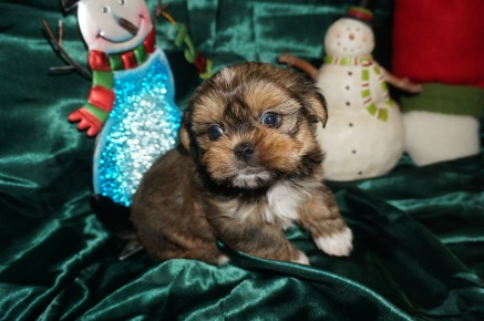 Peanut Butter Male CKC Shorkie $1750 Ready 1/3 SOLD MY NEW HOME ST JOHNS, FL 1.12lbs 6wk1d old