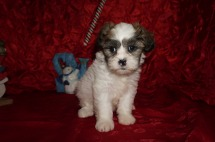 Christie Eve Female Teddy Bear a/k/a CKC Shicon $1750 Ready 12/9 SOLD MY NEW HOME JACKSONVILLE, FL 2.15lbs 7wk3d old