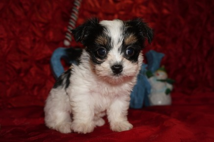 Fritta Female CKC Havashire A/K/A Yorkinese $2000 Ready 12/12 SOLD MY NEW HOME JACKSONVILLE, FL 1.8lbs 7wks old