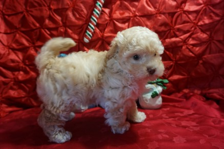 Max Male CKC Maltipoo $2000 Ready 12/7 SOLD! My new home is in Puerto Rico! 2.7lbs 7wk4d old