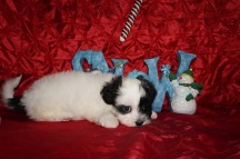 Noel Female Teddy Bear a/k/a CKC Shicon $1750 Ready 12/9 HAS DEPOSIT MY NEW HOME CALLAHAN, FL 2.10lbs 7wk3d old