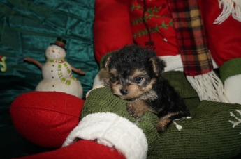 Ziah Female CKC Yorkipoo $1750 Ready 1/4 SOLD 14oz 5wk2d old