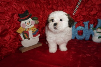 Buddy Male CKC Havashu $1750 Ready 11/27 JUST BECAME AVAILABLE AGAIN 3.9 9 WKS OLD