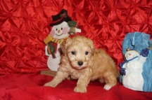 Emmanuel Male CKC Maltipoo $2000 Ready 12/7 SOLD! My new home is Jacksonville, FL 2 LBS 5W4DD OLD
