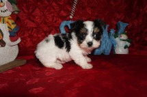 Fritta Female CKC Havashire A/K/A Yorkinese $2000 Ready 12/12 HAS DEPOSIT MY NEW HOME JACKSONVILLE, FL 1.8lbs 7wks old