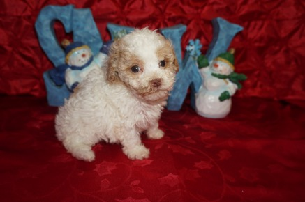 Sugar Female Toy CKC Poodle $1750 Ready 12/23 HAS DEPOSIT MY NEW HOME JACKSONVILLE, FL 1.2lbs 5wk2d old