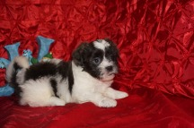 Berry Male Teddy Bear a/k/a CKC Shicon $1750 Ready 12/9 HAS DEPOSIT MY NEW HOME CALLAHAN, FL 2.11lbs 7wk3d old