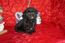 Binkie Female CKC Malshipoo $1750 Ready 12/4 HAS DEPOSIT MY NEW HOME DEFUNIAK, FL 1.14lbs 8wks old