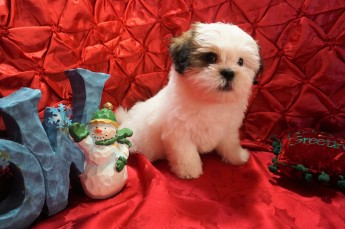 Buddy Male CKC Havashu $1750 Ready 11/27 SOLD MY NEW HOME IS IN JAX,FL 3.9 9 WKS OLD