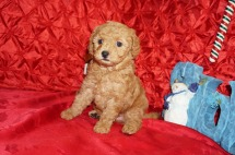 Mary Female CKC Maltipoo $2000 Ready 12/7 SOLD! My new home is Jacksonville, FL 2.13lbs 5wk4d old