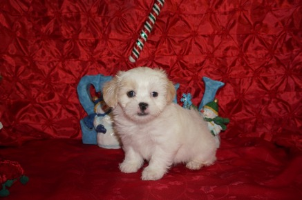 Snowflake Female CKC Havashu $1750 Ready 12/13 SOLD MY NEW HOME JACKSONVILLE, FL 2.11lbs 7wks old