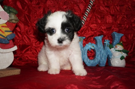 Noel Female Teddy Bear a/k/a CKC Shicon $1750 Ready 12/9 SOLD MY NEW HOME CALLAHAN, FL 2.10lbs 7wk3d old