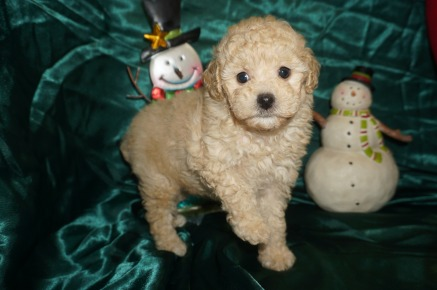 Emma Female Toy CKC Poodle $1750 Ready 12/23 SOLD MY NEW HOME RICHMOND, VA 2.3lbs 7W2D Old