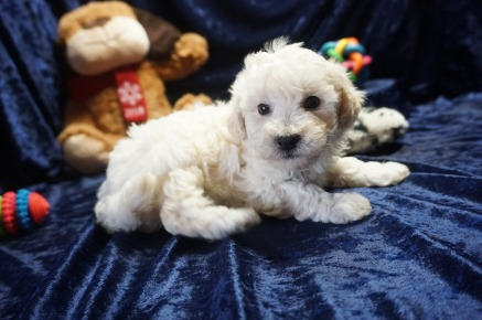 Alfie Male CKC Maltipoo $1750 Ready 1/18 AVAILABLE 2.1lbs 6wks old