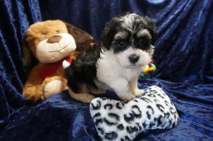Bentley Male CKC Havanese $1750 Ready 1/10 SOLD MY NEW HOME JACKSONVILLE, FL 2.5lbs 7wks old