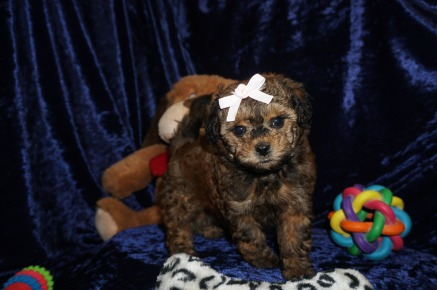 Carmel Delight Female CKC Malshipoo $2000 Ready 1/10 SOLD MY NEW HOME NORTH PORT, FL 2.6lbs 7wks old