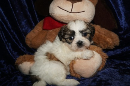 Cranberry Female CKC Shihpoo $1750 Ready 1/18 SOLD MY NEW HOME JACKSONVILLE, FL 1.10lbs 6wks old