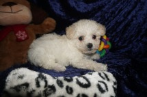 Harley Male CKC Maltipoo $1750 Ready 1/10 HAS DEPOSIT MY NEW HOME JACKSONVILLE, FL 1.12lbs 7wks old