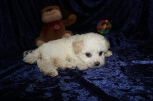 Hunter Male CKC Maltipoo $1750 Ready 1/10 HAS DEPOSIT MY NEW HOME JACKSONVILLE, FL 1.8lbs 7wks old