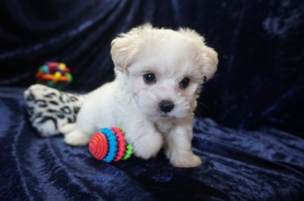 Huxley Male CKC Maltipoo $1750 Ready 1/10 HAS DEPOSIT MY NEW HOME PORT ORANGE, FL 1.12lbs 7wks