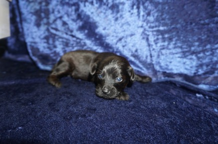 Lady Bug Female CKC T-Cup Yorkipoo $1750 Ready 2/3 HAS DEPOSIT MY NEW HOME MIDDLEBURG, FL 13.9oz 2wk4d old