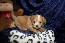 Maddy Female CKC Havapoo $1750 Ready 1/18 SOLD MY NEW HOME APOPKA, FL 1.9lbs 6wks old